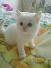Two female ragdoll kittens for sale