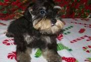 Miniature Schnauzer Puppies Available To Good Homes