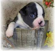 Super Cute Boston Terrier Puppy