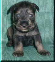 Standard Schnauzers puppies looking for a lovely home