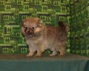Adorable Little Teacup Pomeranian Puppy Ready To Go Now