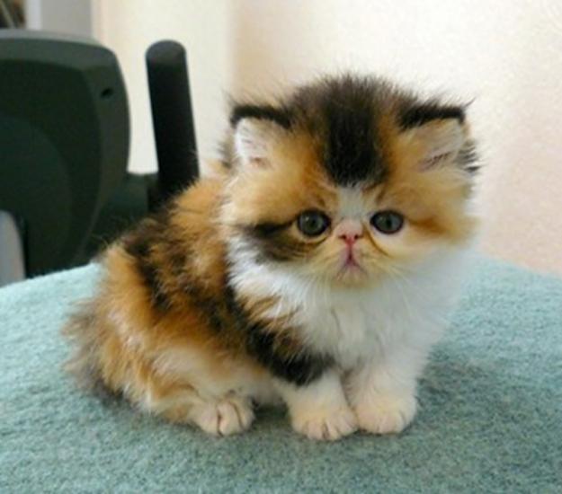 kittens for adoption - Sunderland - Cats for sale, kittens for sale ...